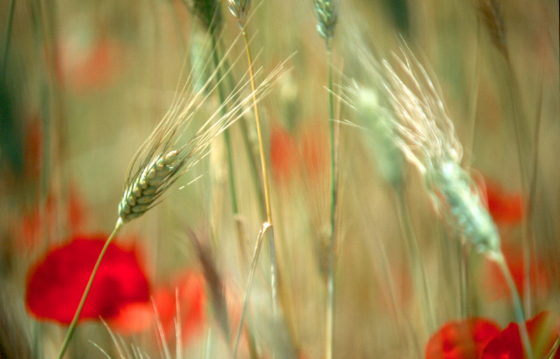 Wheat and red poppies
