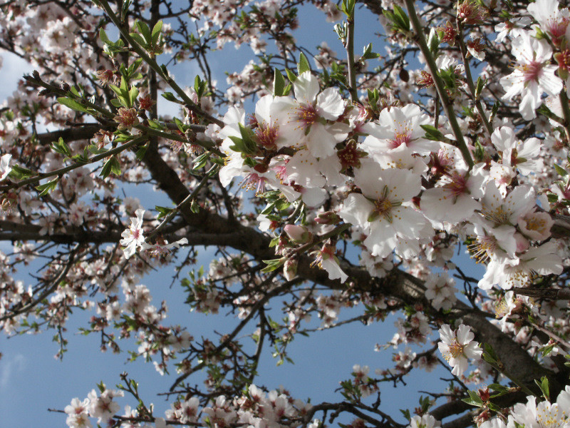Sardinian almond tree - climate in January