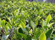 お茶の木 紅茶も緑茶もこの木から作ることができます