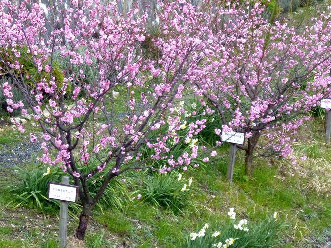ウメの新名所・箕川(みのかわ)のピンクの梅