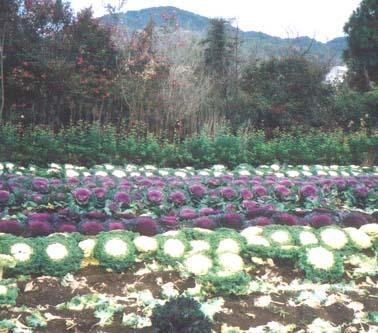 新稲の葉ぼたん畑(昨年以前の風景)