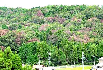 全山に広がった「ナラ枯れ」の例(林野庁HP=写真提供:一般社団法人 日本森林技術協会)