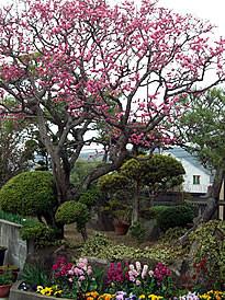 和風のお庭に満開になった濃い色の梅と、 洋風の鮮やかな色のストックと パンジーの花で演出された明るいお庭