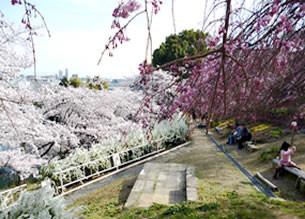 のり面を利用した桜を中心とした花園