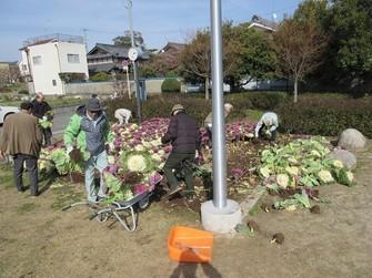 古井戸公園のメインの花壇の葉牡丹を撤収