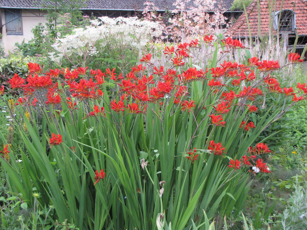Les Crocosmia Lucifer