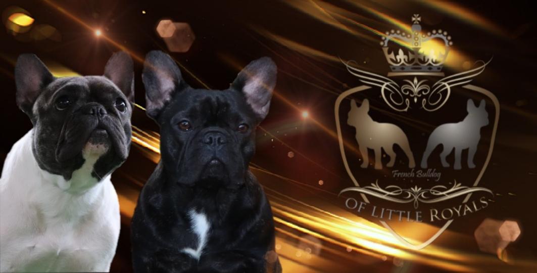 Franzosische Bulldoggen Zuchter Osterreich Niederosterreich Wien