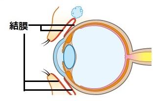 結膜の位置