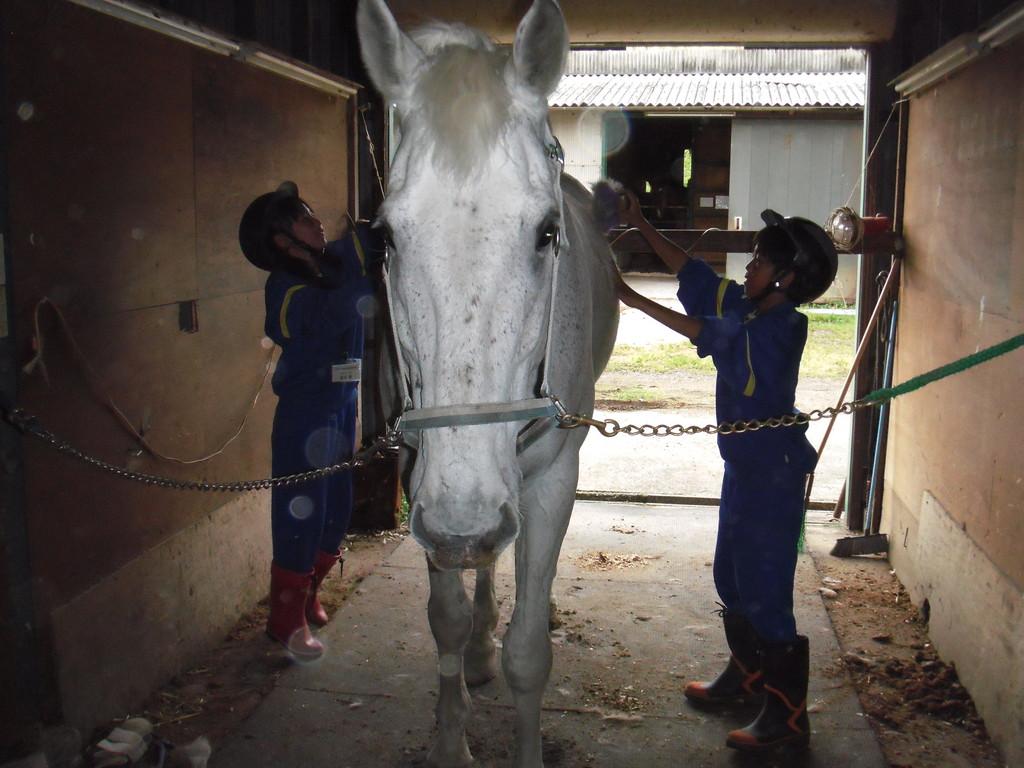 大きな馬のブラッシングのお手伝い