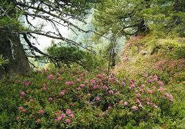 Almrosenblüte im Nadernachtal