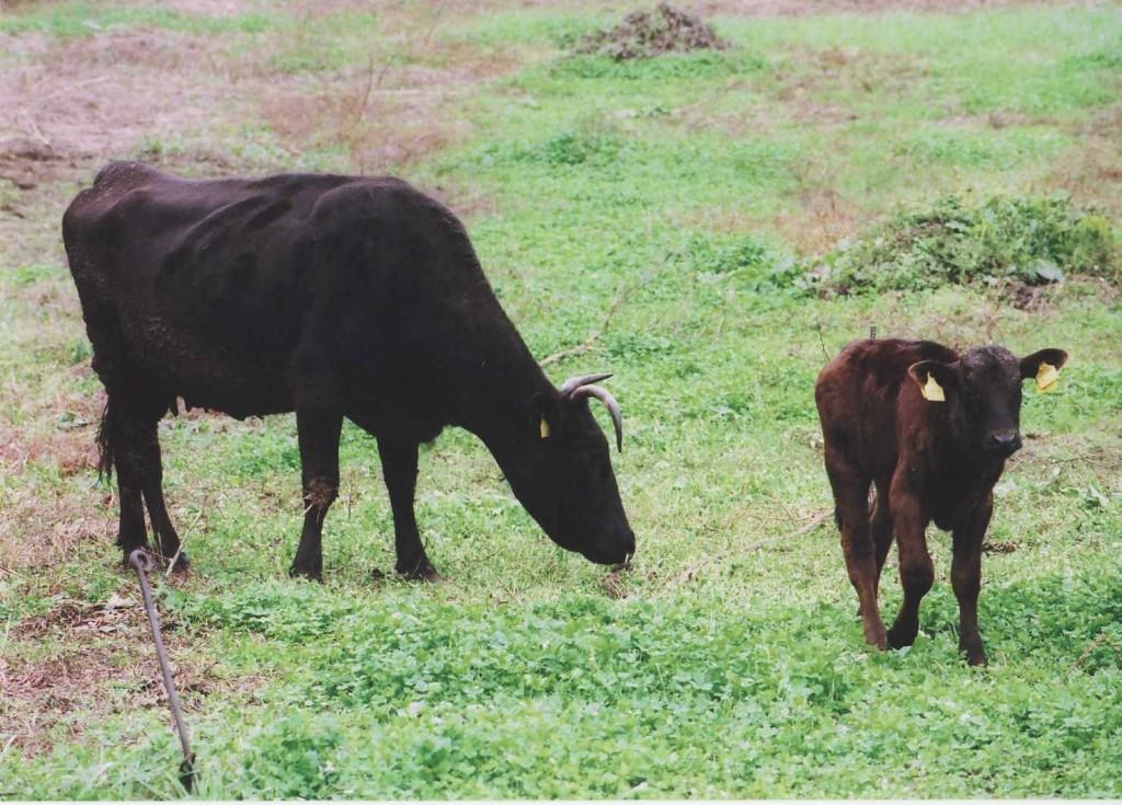 那須トレの 近くの牛