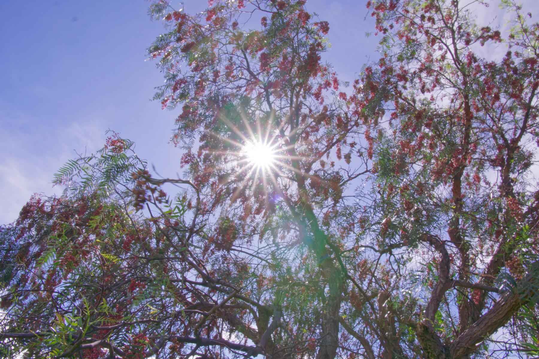 Am Molle Molle Baum wächst der Rote Pfeffer. ACHTUNG: Das nächste Bild zeigt eine Augenverletzung.