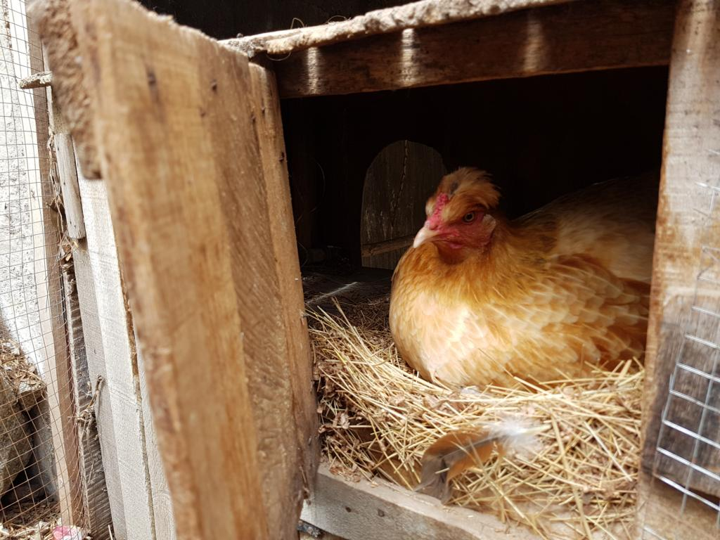 Wir haben Hühner!