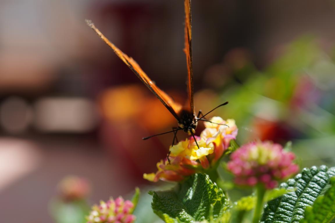 Erlaubter Besuch: Ein Schmetterling landet zum Nektartrinken hinter dem Haus.