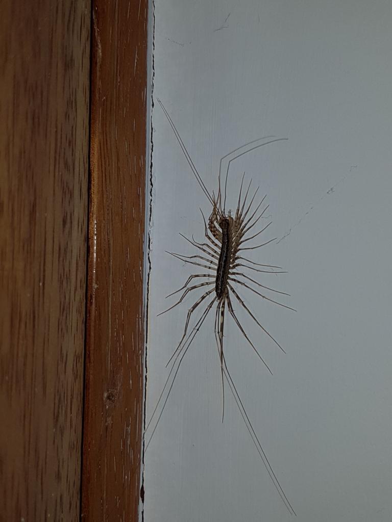... wie dieser gar nicht so kleine Freund hier. Er soll sehr nützlich sein, da er beispielsweise Spinnen jagd.