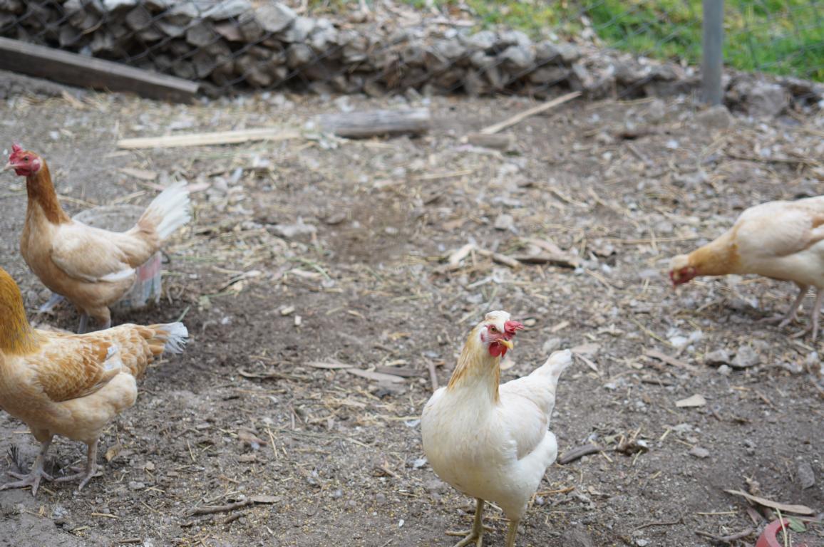 Es sind sogar insgewamt 10 Hühner und 2 Gänse.