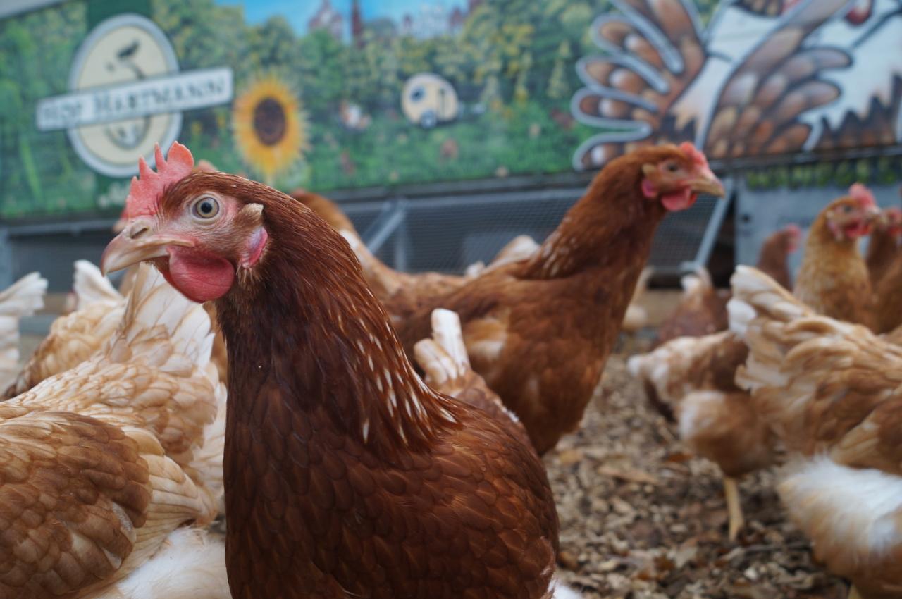 Auf eines ist Verlass: unsere fleißigen Hühner.