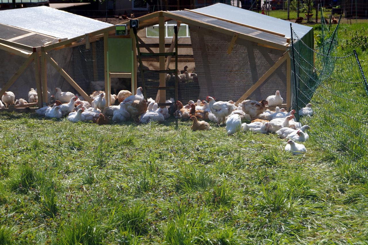In den mobilen Unterständen fühlen sich unsere Hähnchen rundum wohl und sicher.