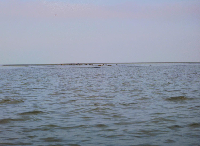 die Seehundkolonie auf der Bremmer Bank