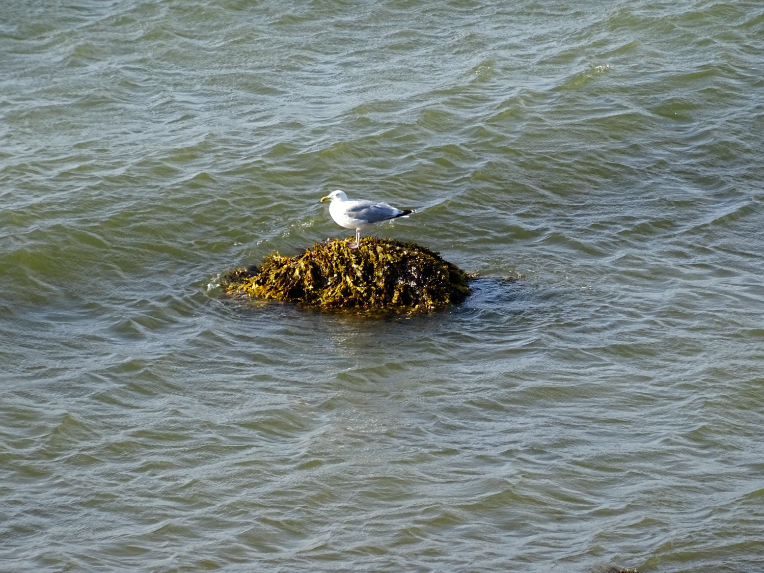 dry-footed seagull in the Baltic Sea