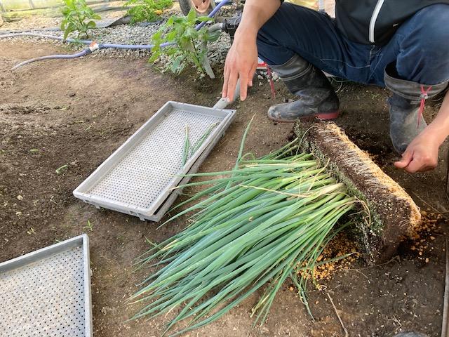 ネギの植え替え作業