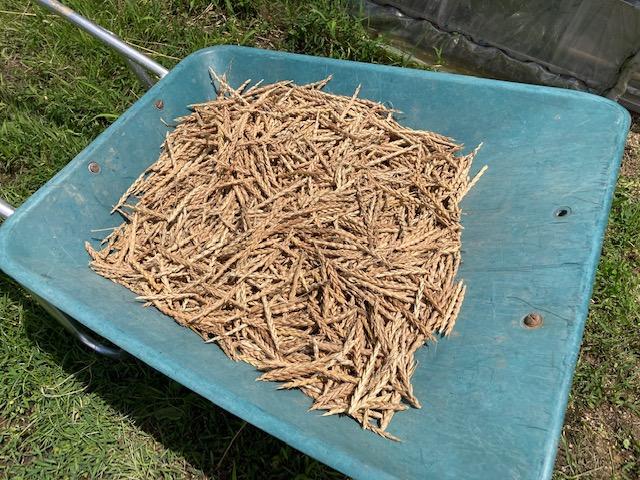スペルト小麦の脱穀完了