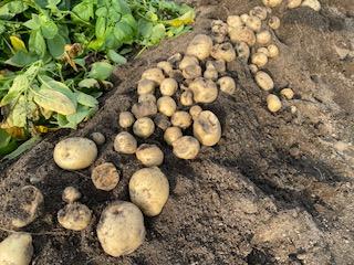 今年はジャガイモが豊作