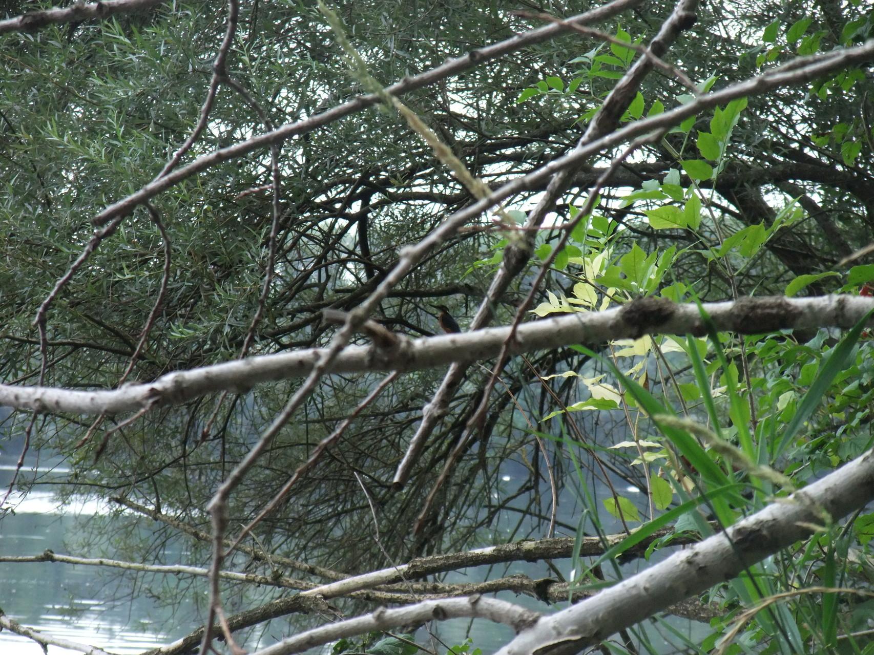 Eisvogel (zentral im Bild)