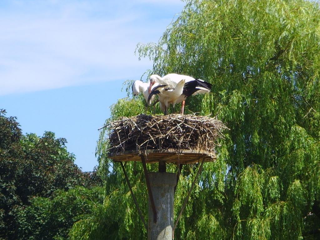 Störche beim Nestbau