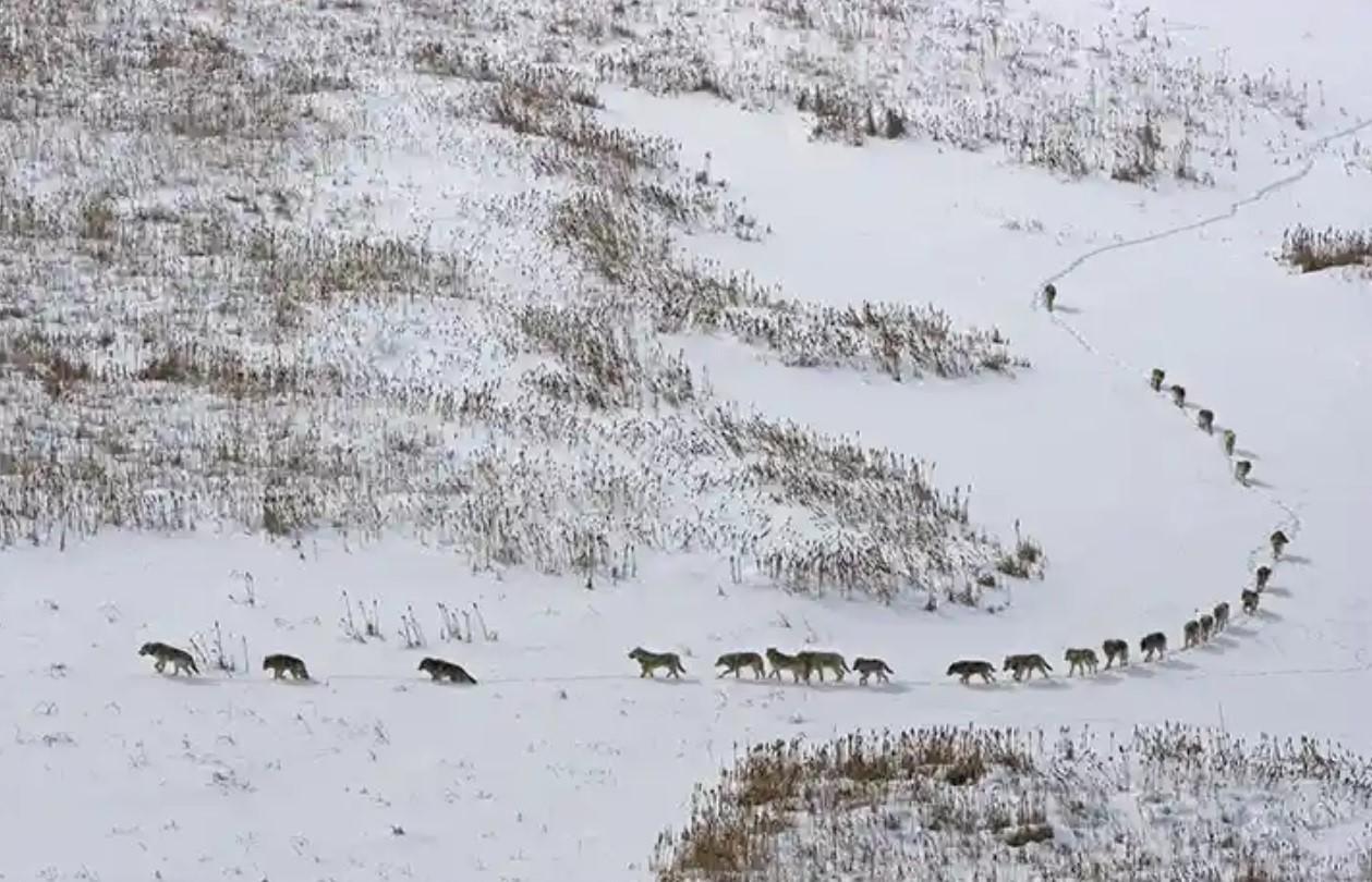 Schneelandschaft mit Wölfen