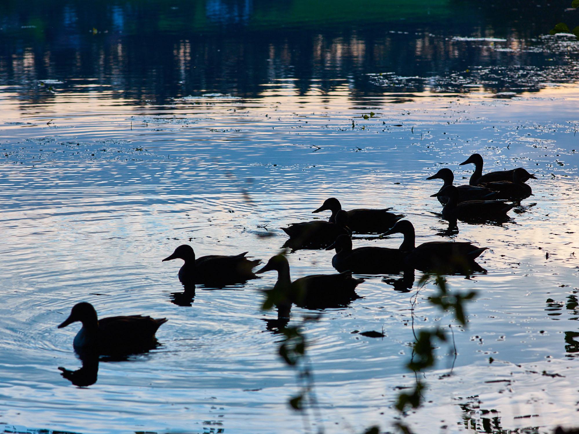 Enten im Höglwörther See