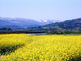 丘一面に咲き誇る菜の花