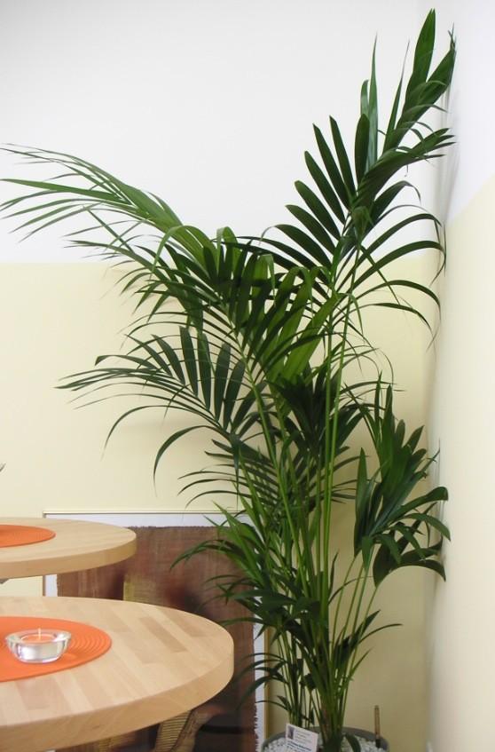 Howea forsteriana palmen schartners webseite - Zimmerpflanze sonnig ...