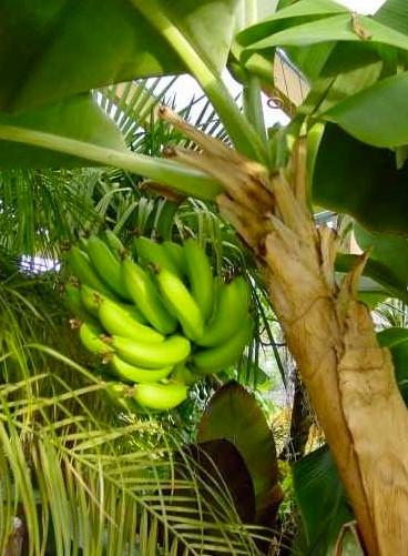 bananenpflanzen palmen schartners webseite. Black Bedroom Furniture Sets. Home Design Ideas