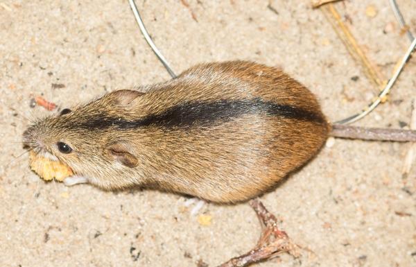 мышь коричневая с черной полоской на спине