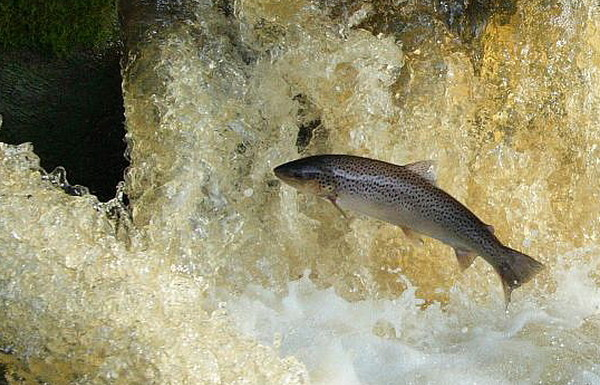 Photo © Rupert Fleetingly / Leaping Sea Trout / CC BY-SA 2.0