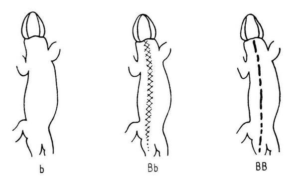 Дорсомедиальная полоса: b — отсутствует, Вb — фоновая, ВВ — образована темными пятнами (по Пикулику, 1988)
