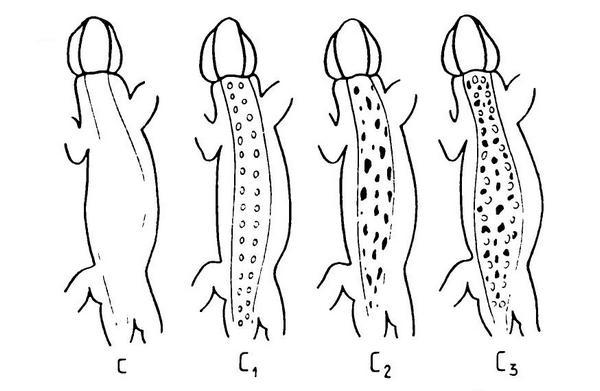 Дополнительные элементы рисунка спины: с — отсутствуют, С1 — два ряда белых пятнышек («глазков»), С2 — темные мелкие пятна, С3 — сочетание С1+С2 (по Пикулику, 1988)