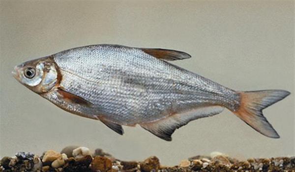 Photo © Akos Harka / www.fishbase.de CC BY 3.0