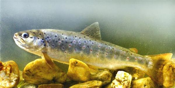 Photo © Harka, Akos / www.fishbase.us CC BY 3.0