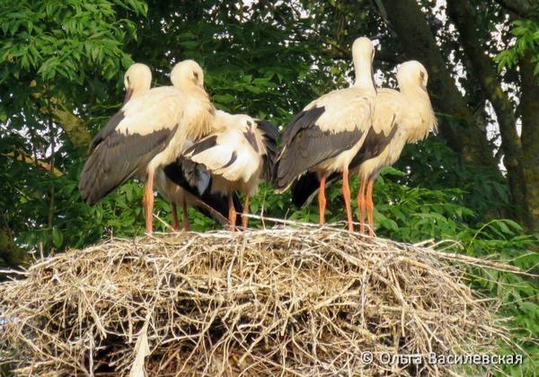 Необычное гнездо с 5 молодыми аистами. Фото Ольги Василевской, Пинский р-н (Брестская обл.)