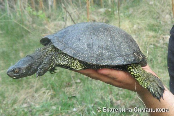 Екатерина Симанькова, пруд у д. Николаевка, Могилевский р-н. Черепаха, случайно пойманная на удочку и затем отпущенная в водоем. Автором фото указывается, что черепахи обитают в пруду десятки лет и встречаются юные черепашата