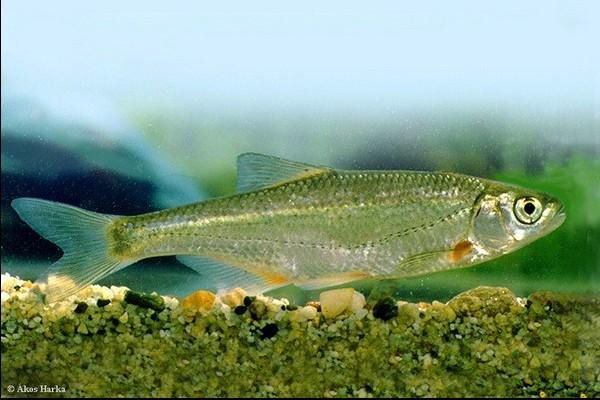 Photo © Akos Harka www.carpathianbasinspecies.eu