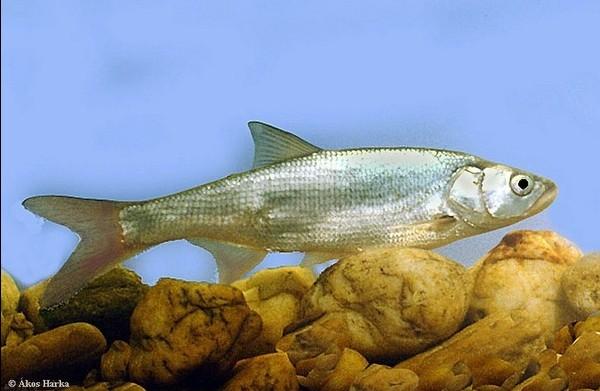 Photo © Akos Harka / www.carpathianspecies.eu