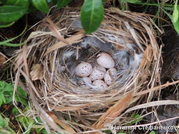 Перевернутое сбитое гнездо. Фото Натальи Стефаненко, г. Горки (Могилевская обл.)