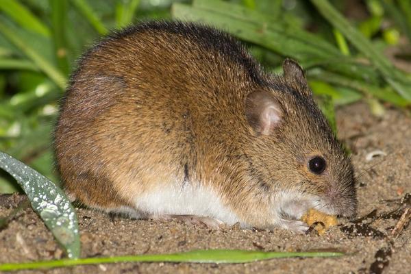 Мышь фото (Muridae)
