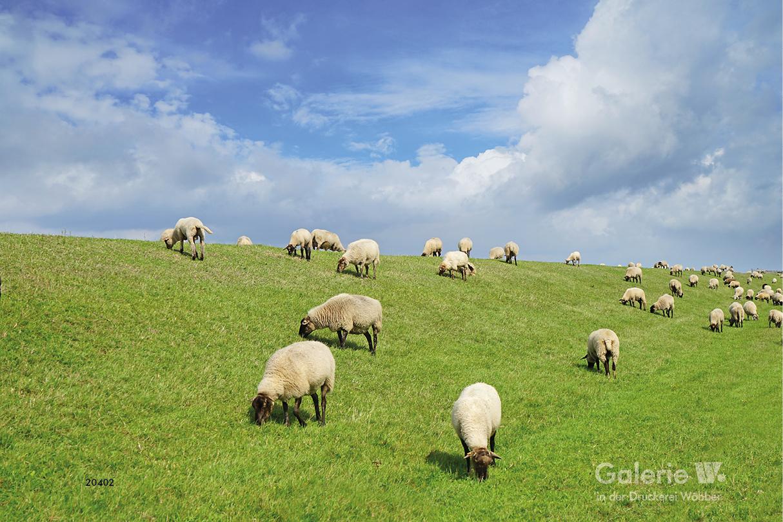 20402 Schafe