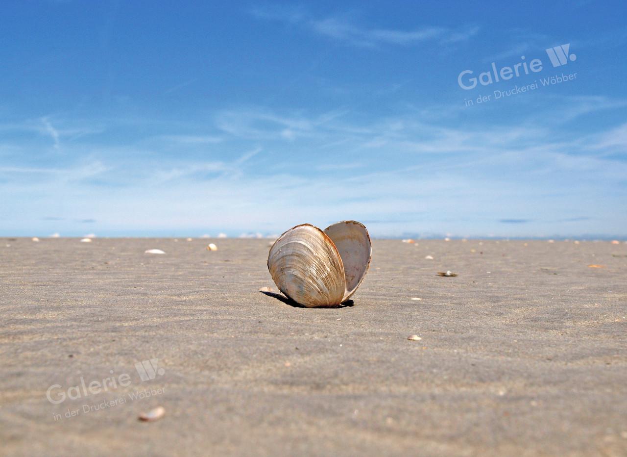 55202 Sandklaffmuschel