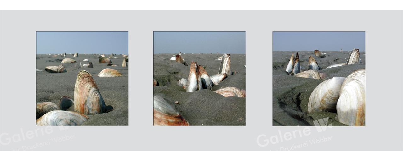 26041 Sandklaffmuscheln