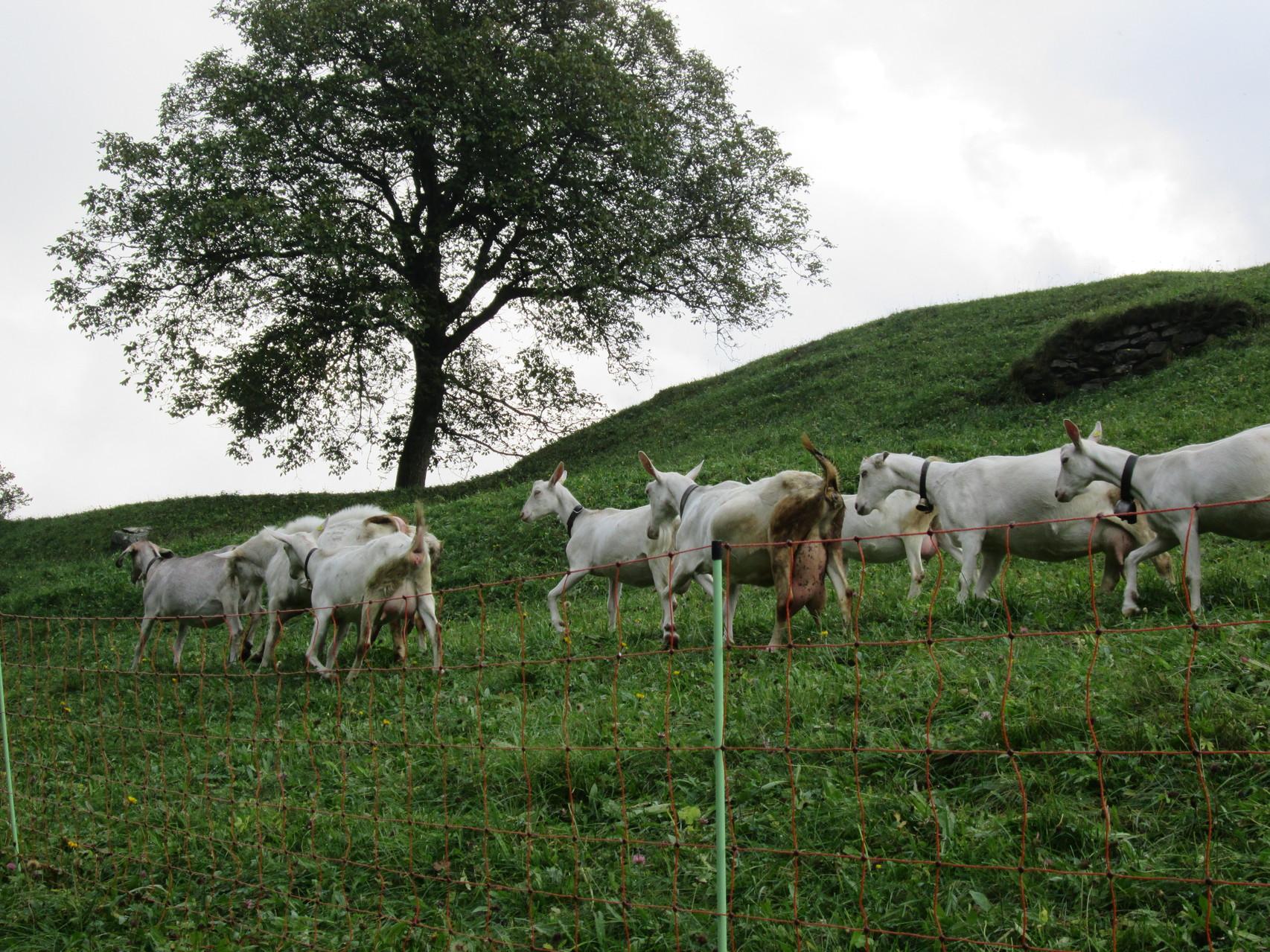Auch heute hat es noch einige Ziegen und Schafe in Soglio.